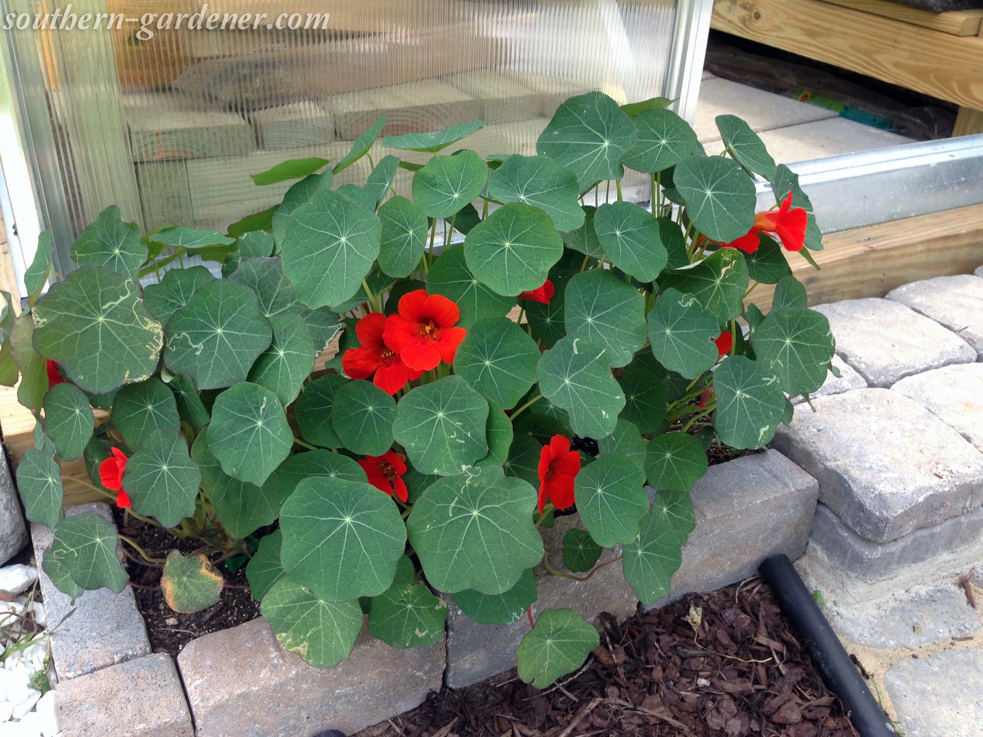 nasturtium sin brick paver flower bed
