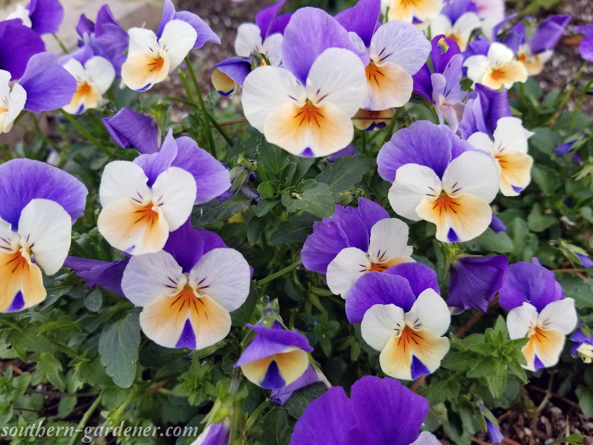 gorgeous viola flowers