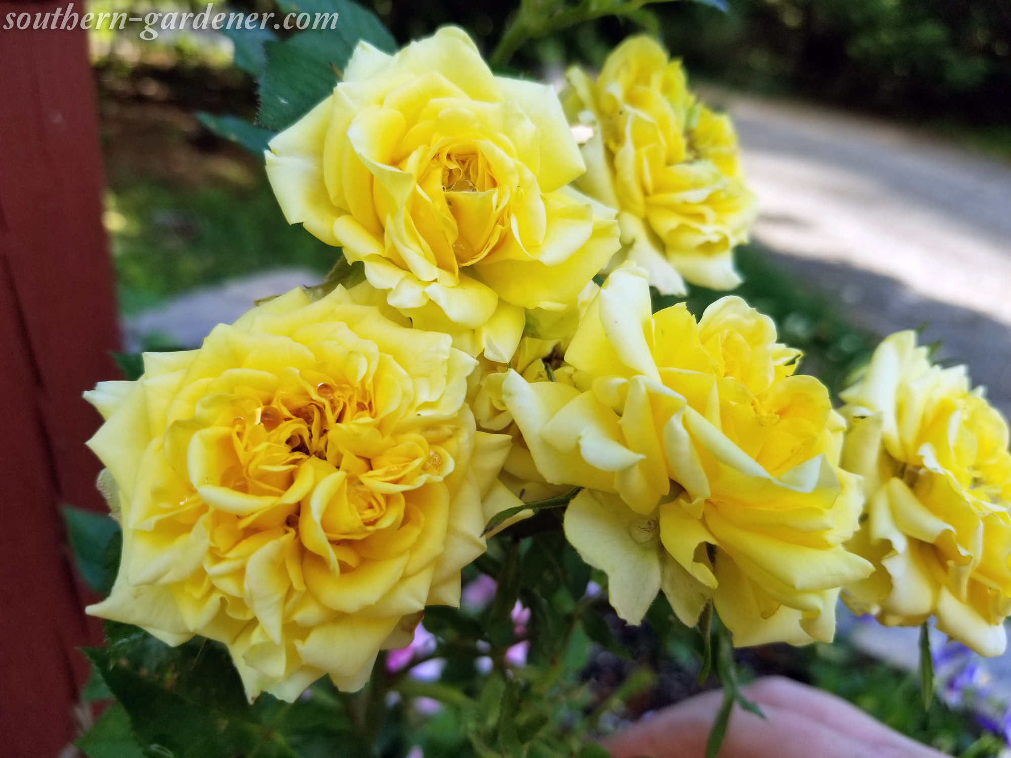 miniature yellow rose bush outside