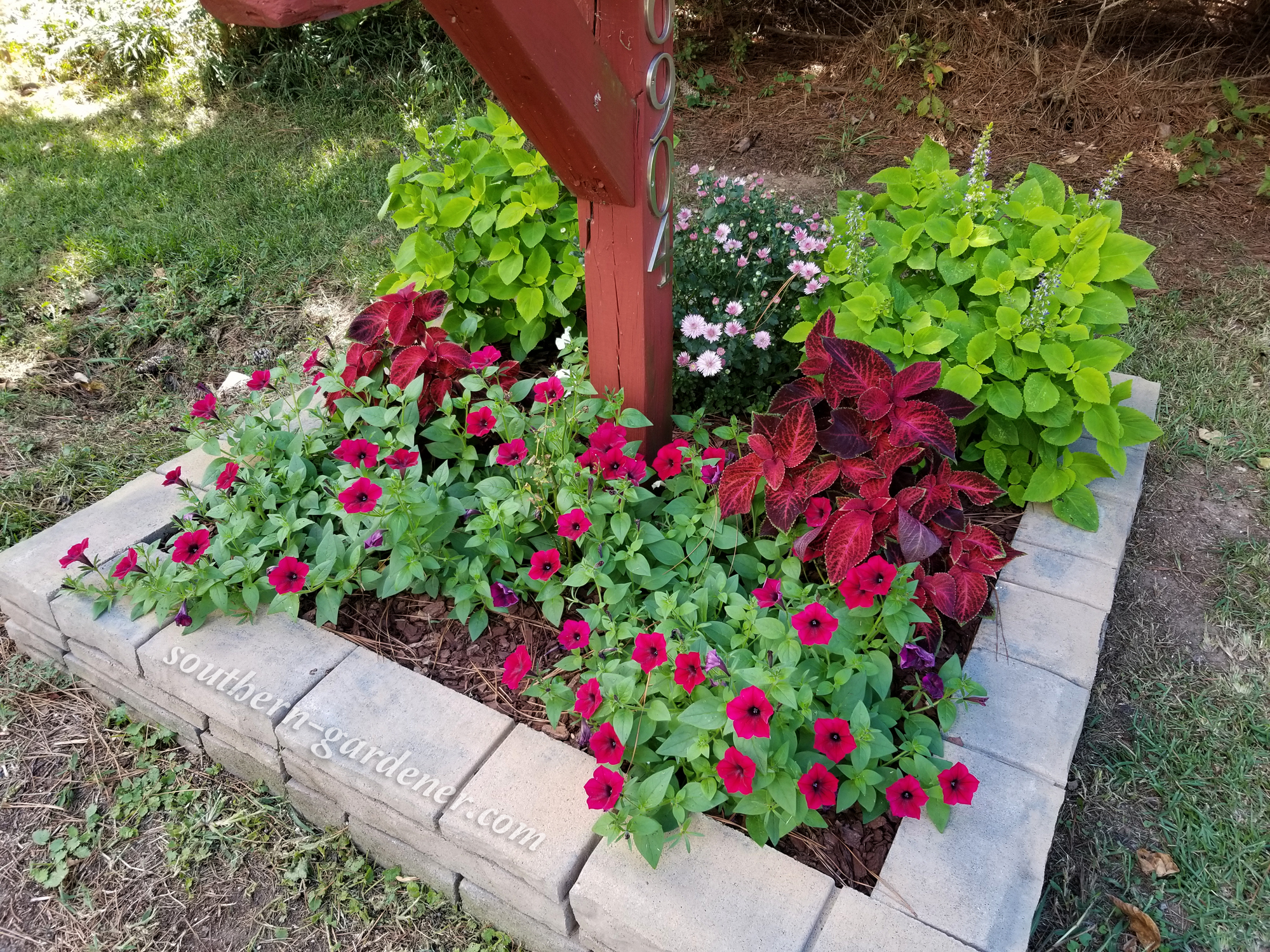 coleus, dendranthema (chrysanthemum), petunias, miniature rose bush