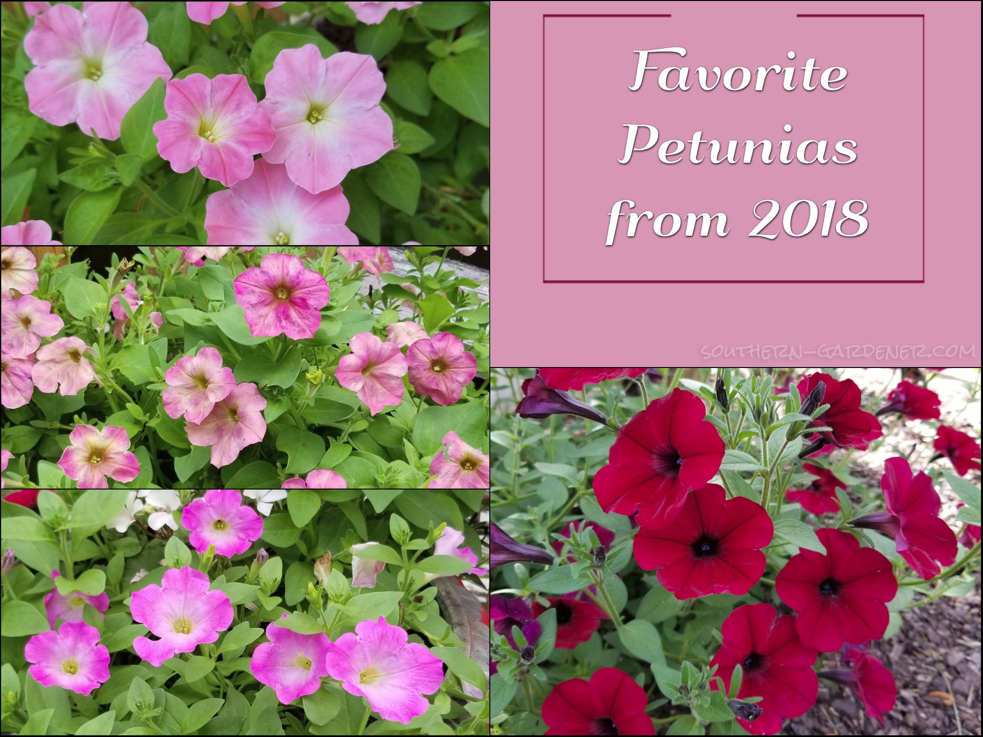 Favorite Petunias from 2018