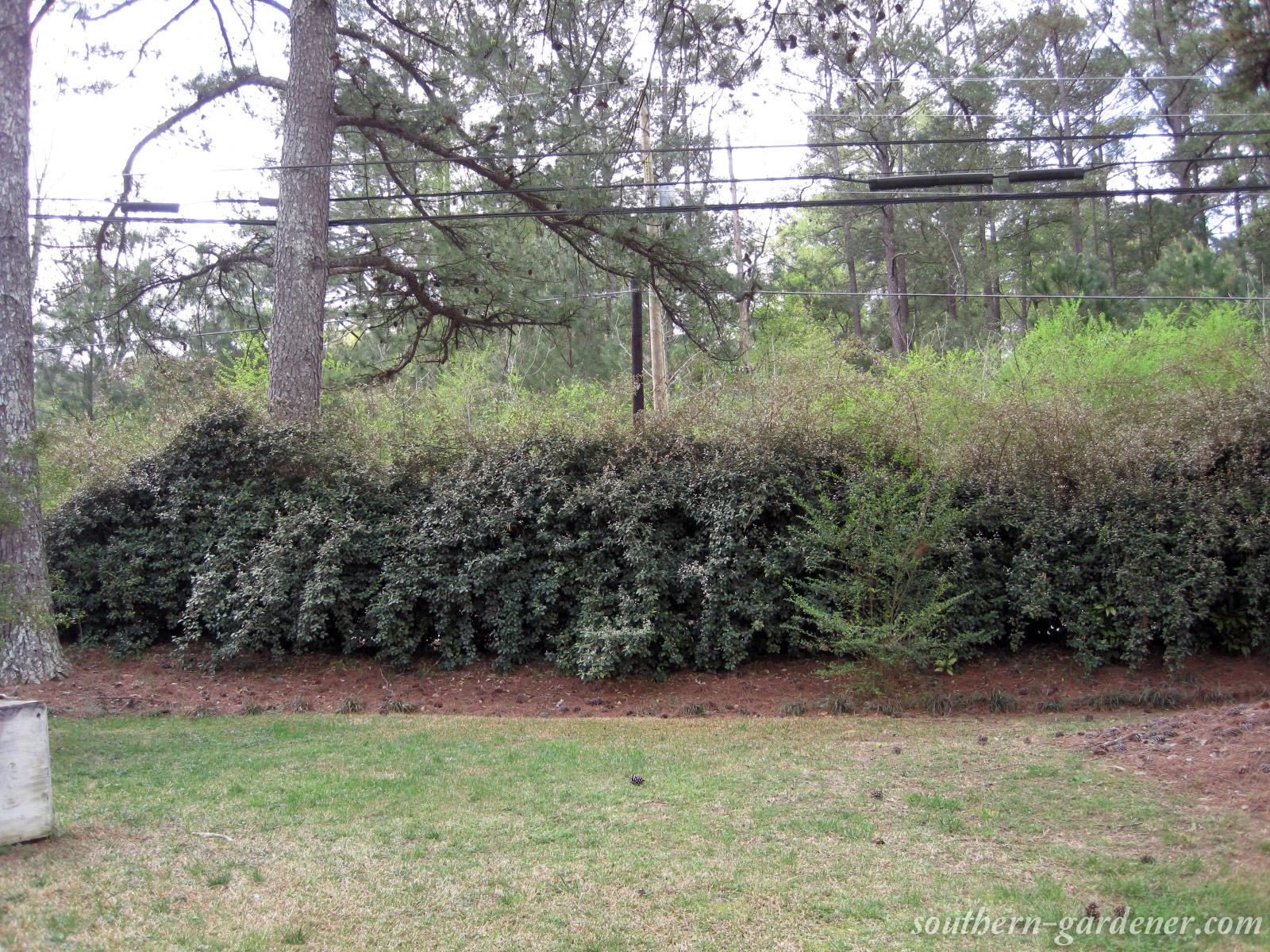 Elaeagnus (Silverberry)