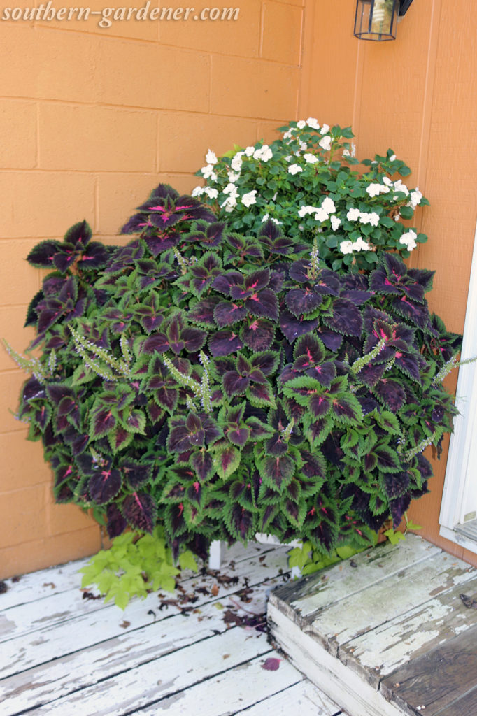 coleus out of control