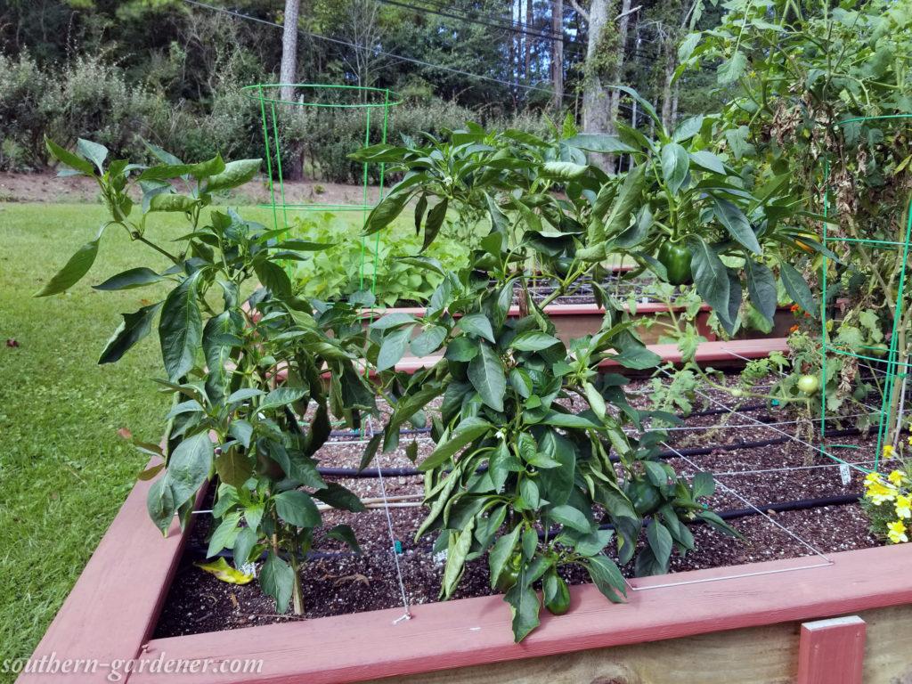 Cutlas bell peppers