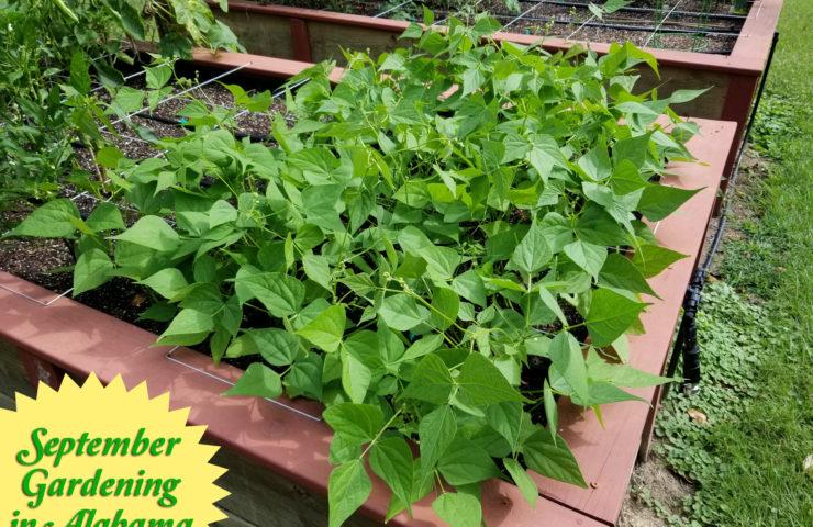 September Vegetable Gardening in Alabama