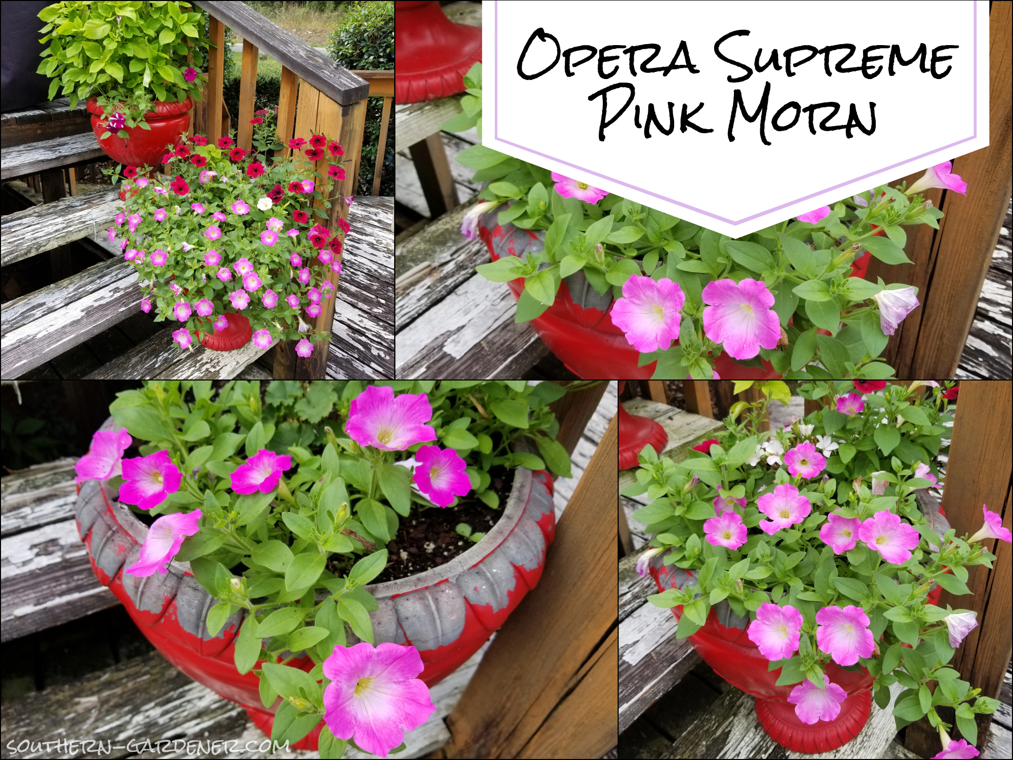Opera Supreme Pink Morn Petunias