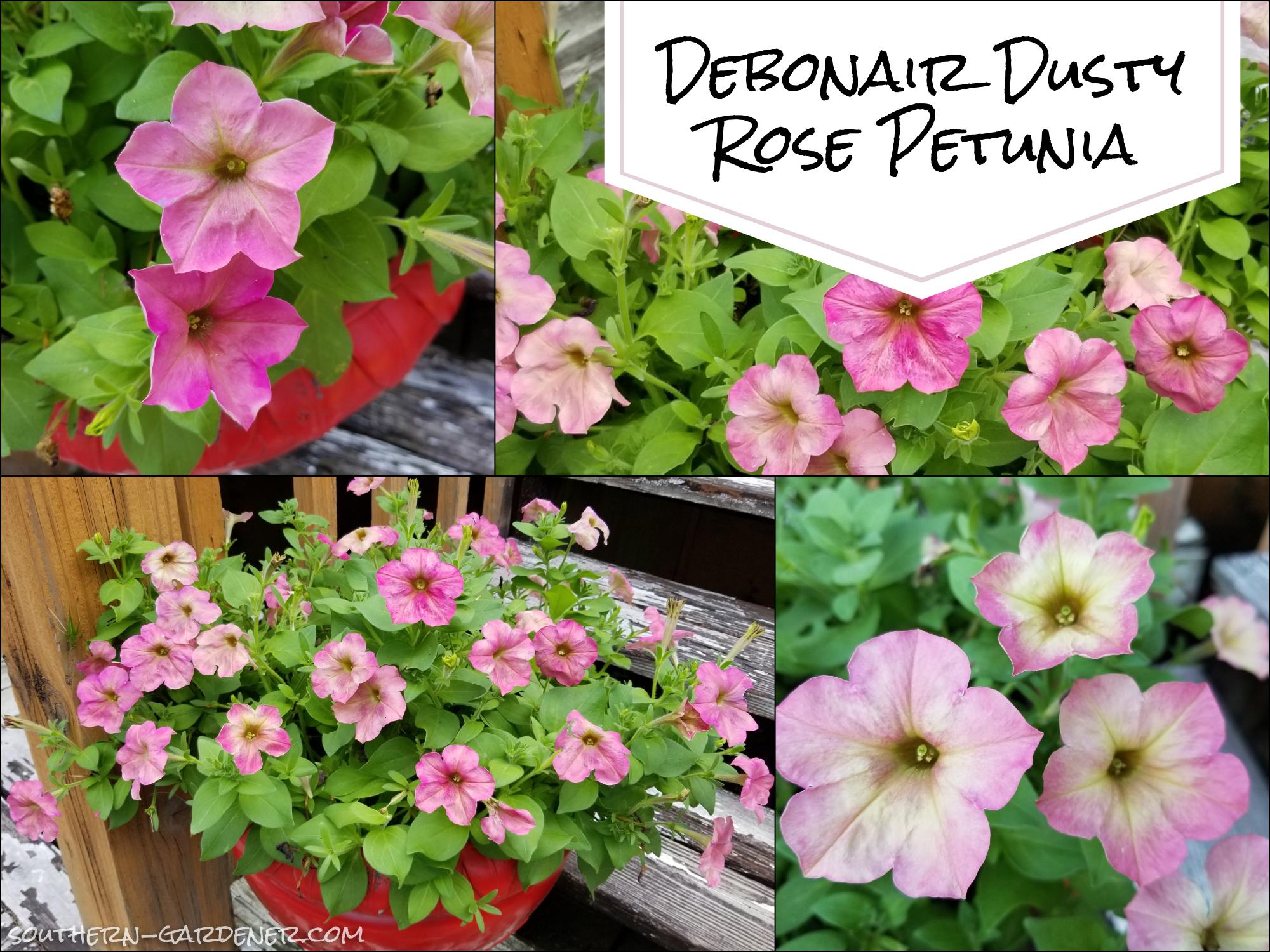 Debonair Dusty Rose Petunia