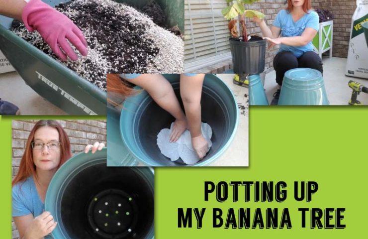 potting up my banana tree